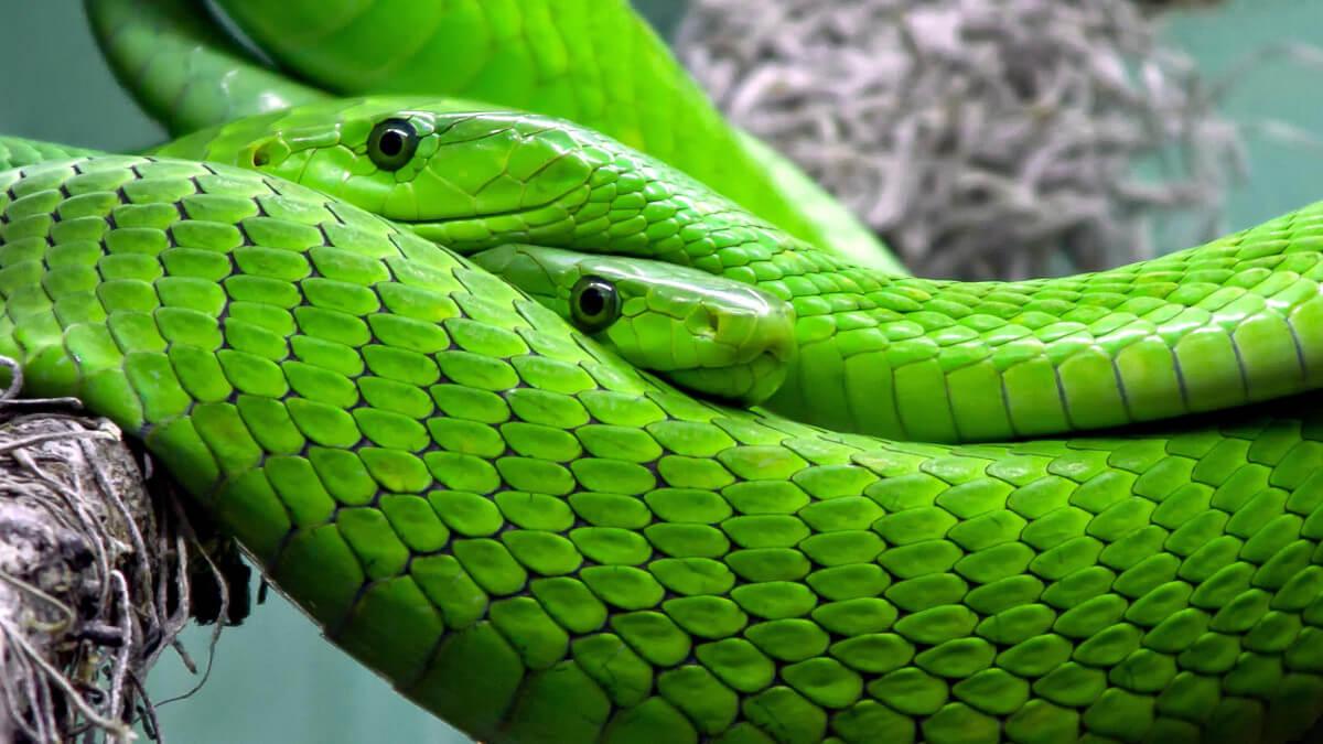 Dead Snakes | Metrics