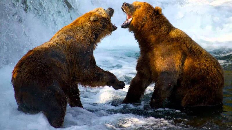 Karyawan Bermasalah | Bear Fighting